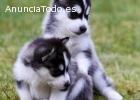 2 cachorros azul magnífico ojo Husky sib
