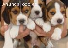 Adoptar cachorros beagle tricolores