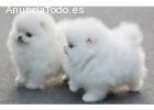 adorables cachorros de Pomerania