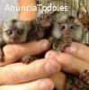 Adorables monos tití, listos