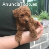 AKC Poodle  mini toy