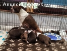 Boston Terrier Puppys para la venta