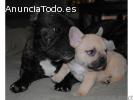 Bulldog Francés cachorros disponibles pa