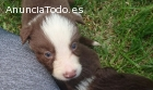 Cachoros Border Collie chocolate