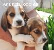 Cachorros Beagle alta calidad