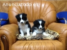 Cachorros Border Collie alta calidad