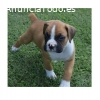 Cachorros boxer disponibles