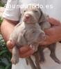 Cachorros Braco de Werimar