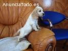 Cachorros Cocker Spaniel Inglés