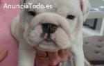 Cachorros de bulldog británico