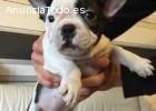 Cachorros de Bulldog Francés Pedigree he