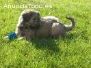 Cachorros Pastor Catalán
