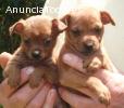 Cachorros Pinscher alta calidad