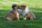 Cachorros Rough Collie