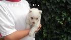 Cachorros Samoyedo alta calidad