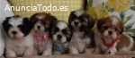 Cachorros Shih Tzu mini toy