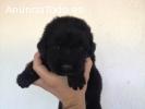 Cachorros Terranova