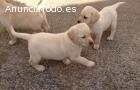 Labrador, increibles cachorros ¡ muy bar