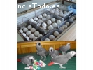 Loros y huevos fértiles