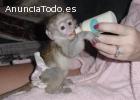 monos capuchinos bien entrenados