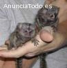 monos tití bebé dedo para su aprobación