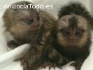 Monos tití de dedo bebé para adopción