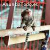 Monos titíes lindos para la venta