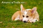 Nuevo Cachorro Corgi, En Busca De Un Nue