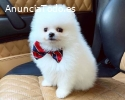 playful Pomeranian puppies for sale