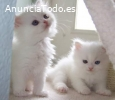 Regalo Adorable Gatitos Persa