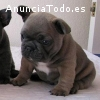 Regalo bulldog frances azul en adopcion