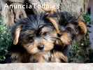 REGALO CACHORROS DE YORKSHIRE TERRIER ES