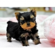 Regalo Cachorros toy, Yorkshire terrier
