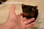 Regalo Cachorros yorkshire terrier mini