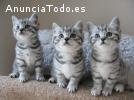 Regalo Gatitos British shorthair