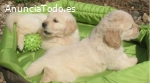 REGALO PRECIOSOS CACHORROS GOLDEN RETRIE