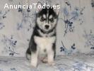 Regalo Siberian husky cachorros gratuito