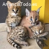 Serval, Caracal, Savannah y gatos exótic