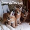Serval Savannah y gatitos caracat