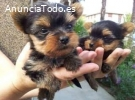 Yorkshire  mini toy cachorros