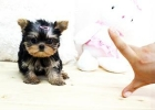 Yorkshire  mini toy Terrier mini toy