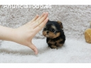 Yorkshire  mini toy Terrier